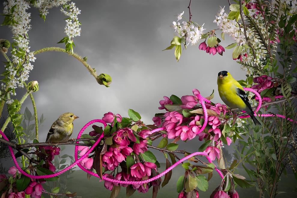 Jason DeMarte, Goldfinch Pink Cord